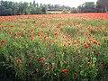A field of poppies - geograph.org.uk - 847677.jpg