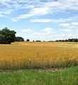 A field of ripening barley - geograph.org.uk - 1399545.jpg