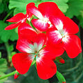 A fresh, red Flower.JPG