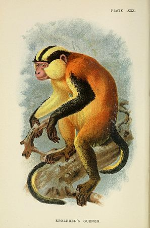 A hand-book to the primates (Plate XXX) (6901559510).jpg