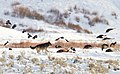 A wolf chases magpies and ravens from an elk carcass near Soda Butte (4e7cad96-e17d-4b57-967b-ee1c2f7daa78).jpg