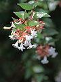 Abelia × grandiflora (3725253790).jpg