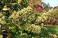 Abelia chinensis - Brooklyn Botanic Garden - Brooklyn, NY - DSC07955.JPG