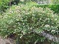 Abelia x grandiflora 03.jpg