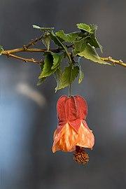 Abutilon ×hybridum Patrick Synge