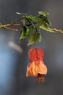 <i>Abutilon</i> × <i>hybridum</i> species of plant