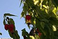 Abutilon megapotamicum Little Imp 2zz.jpg