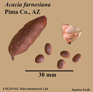 Acacia-farnesiana-fruit.jpg