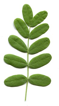 Acacia. Leaves in summer.jpg