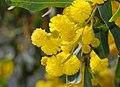 Acacia March 2008-1.jpg