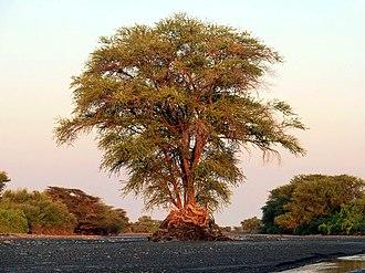 Turkana Basin - An Acacia tree in the Kokiselei river, northern Kenya
