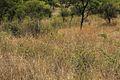 Acacia chariessa01.jpg