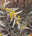 Acacia georginae flowers and foliage.jpg