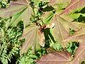 Acer circinatum 26292.JPG