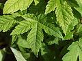 Acer heldreichii ssp. visianii K.Maly.JPG