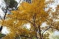 Acer monspessulanum en automne - 02.jpg