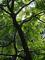 Acer palmatum Klon palmowy 2018-06-10 03.jpg