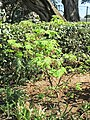 Acer palmatum in olive park Roquebrune.jpg