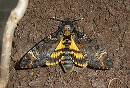 Acherontia atropos, emerged DH 060 06 12 27-02 cr.jpg