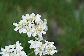 Achillea Clavennae close-up - Alpine Flora.jpg