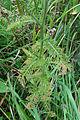 Achillea millefolium 03899.jpg