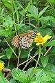 Acraea violae - Tawny Coster at Peravoor.jpg