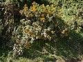 Acrisione denticulata 0694.jpg