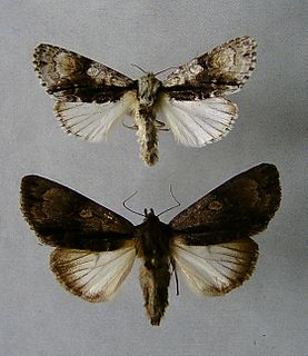 <i>Acronicta alni</i> Species of moth