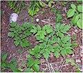 Actaea spicata plant (03).jpg