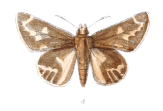 <i>Actinor</i> species of insect