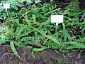 Adiantum edgeworthii - Berlin Botanical Garden - IMG 8675.JPG