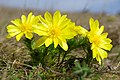 Adonis vernalis (49716224128).jpg