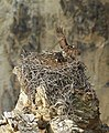Adult osprey landing (21796287696).jpg
