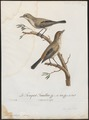 Aedon sperata - 1796-1808 - Print - Iconographia Zoologica - Special Collections University of Amsterdam - UBA01 IZ16200113.tif