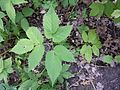 Aegopodium podagraria sl3.jpg