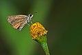 Aeromachus pygmaeus-Kadavoor-2015-08-21-001.jpg