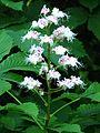 Aesculus hippocastanum 002.jpg