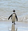African Penguin (Spheniscus demersus) (32811588961).jpg