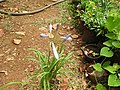 Agapanthus africanus minor-1-shevaroy nursery-yercaud-salem-India.JPG