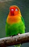 Agapornis fischeri -Parc Paradisio-8a.jpg