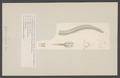 Aglaura fulgida - - Print - Iconographia Zoologica - Special Collections University of Amsterdam - UBAINV0274 007 01 0013.tif