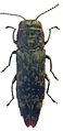 Agrilus occipitalis from Laos - ZooKeys-256-035-g002-17.jpeg