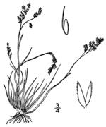 Agrostis mertensii BB-1913.png