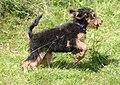 Airedale Terrier puppy.jpg