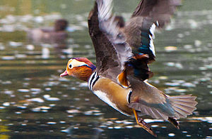 Mandarin duck - Male flying in Dublin, Ireland