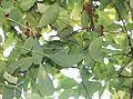 Akebia quinata leaves.JPG