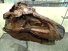 Top-right view of a Gorgosaurus skull in the American Museum of Natural History