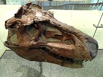 Albertosaurinae - Gorgosaurus skull