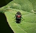 Alder Sawfly Eriocampa ovata (39367144311).jpg