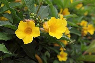 <i>Allamanda schottii</i> species of plant